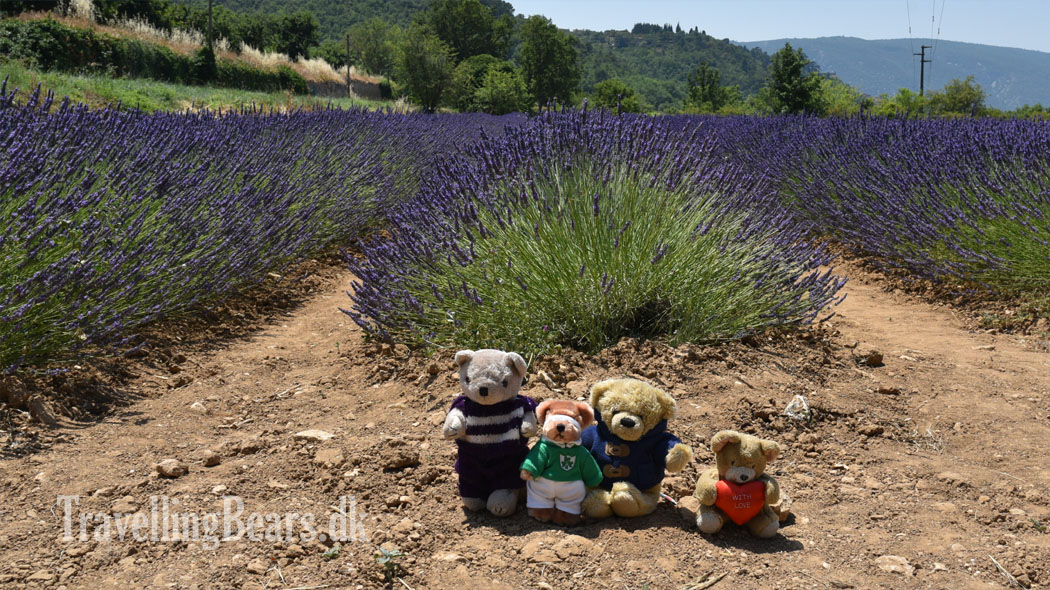 Travelling Bears studying lavender fields in Provence, France