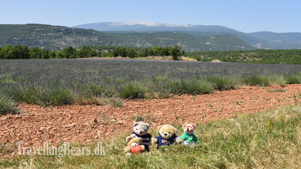 Travelling Bears near Mont Ventoux in Provence, France