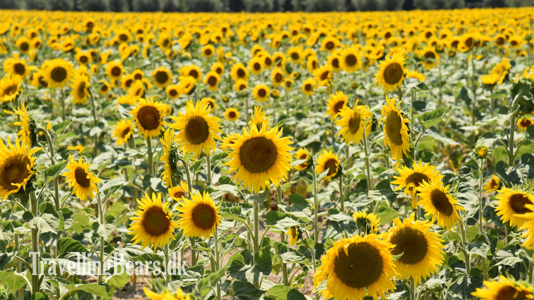 Travelling Bears, Sun flowers in Provence, France