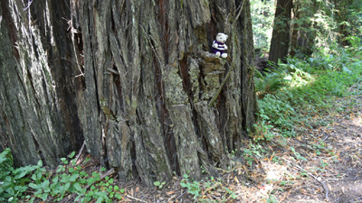 Travelling Bears climbing Sequoia trees, California